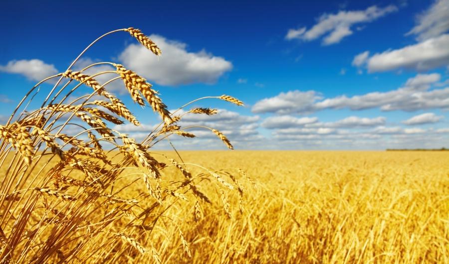 gluten (gliadyna) - pszenica, żyto, jęczmień, owies