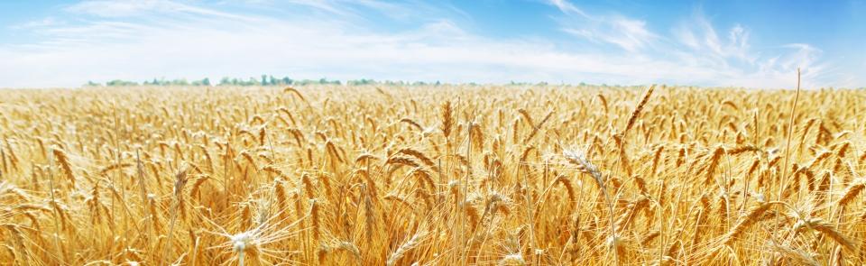 modyfikacja genetyczna pszenicy